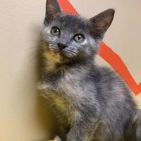 Adopt A Pet :: Lotus - Maryville, MO