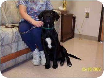 Retriever (Unknown Type) Mix Puppy for adoption in Molalla, Oregon - Ace