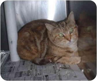 Domestic Shorthair Cat for adoption in Honesdale, Pennsylvania - Peek A Boo