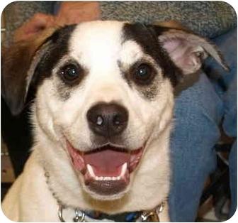 Labrador Retriever/Husky Mix Dog for adoption in Kokomo, Indiana - JACK