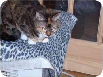 Calico Cat for adoption in Riverside, Rhode Island - Precious