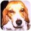 Photo 2 - Beagle Dog for adoption in Osseo, Minnesota - Sophie
