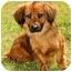 Photo 2 - Dachshund/Cocker Spaniel Mix Puppy for adoption in Marina del Rey, California - Harvey