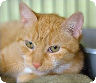 Domestic Shorthair Cat for adoption in Brooklyn, New York - Clover