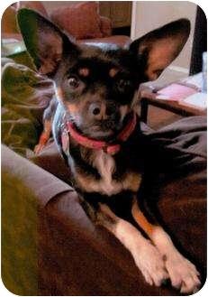 Chihuahua Mix Dog for adoption in Scottsdale, Arizona - Blackie