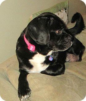 Cocker Spaniel/Pug Mix Dog for adoption in Oak Creek, Wisconsin - Roxxi