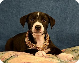 American Pit Bull Terrier/Shepherd (Unknown Type) Mix Dog for adoption in Lapeer, Michigan - Phoebe