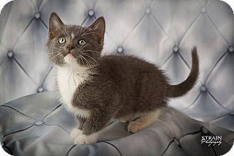 Domestic Shorthair Kitten for adoption in Conway, Arkansas - Teek