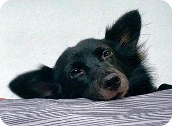 Corgi Mix Dog for adoption in Gainesville, Florida - Midnight