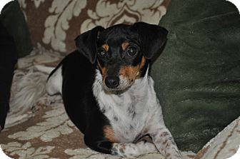Dachshund Mix Puppy for adoption in Tumwater, Washington - Albert