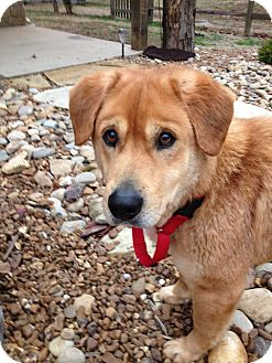 Labrador Retriever Mix Dog for adoption in Brattleboro, Vermont - Luke