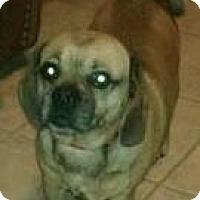 Adopt A Pet :: Della - PUGGLE - Phoenix, AZ
