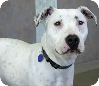 American Staffordshire Terrier/Pointer Mix Dog for adoption in Marina del Rey, California - Pinkie