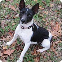 Adopt A Pet :: Betty Boop in Beaumont - Houston, TX