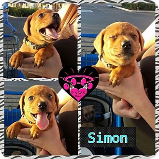 Terrier (Unknown Type, Medium)/Dachshund Mix Puppy for adoption in Fowler, California - Simon