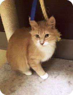 Himalayan Cat for adoption in East Meadow, New York - Sansa