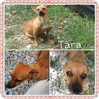 Dachshund Mix Dog for adoption in Gainesville, Georgia - tara