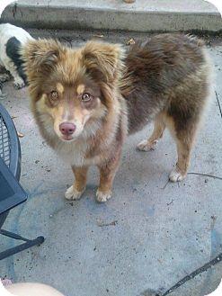 Australian Shepherd Dog for adoption in ST LOUIS, Missouri - Khloe