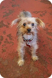 Yorkie, Yorkshire Terrier Mix Dog for adoption in New Orleans, Louisiana - Bug