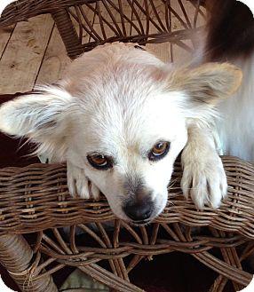 Pomeranian Mix Dog for adoption in Carlsbad, California - Lola