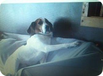 Treeing Walker Coonhound/Hound (Unknown Type) Mix Dog for adoption in Staunton, Virginia - Jake