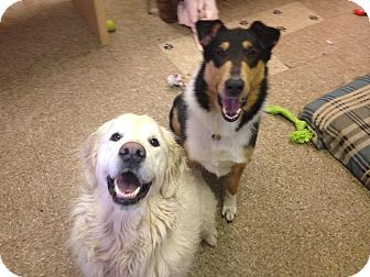 Collie Dog for adoption in North Kingstown, Rhode Island - Banjo