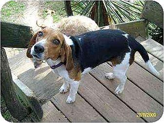 Beagle Dog for adoption in Rutherfordton, North Carolina - Beaguette