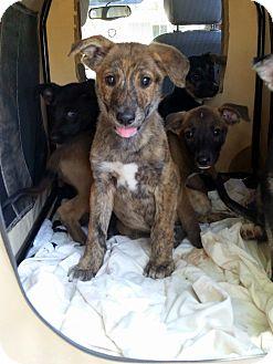 German Shepherd Dog/Labrador Retriever Mix Puppy for adoption in Winnetka, California - SHEP X PUPPIES