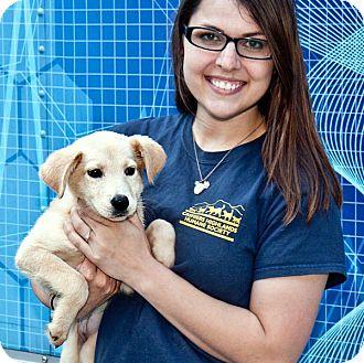 Shepherd (Unknown Type)/Labrador Retriever Mix Puppy for adoption in Cashiers, North Carolina - London