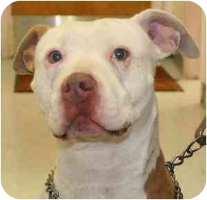 American Staffordshire Terrier Mix Dog for adoption in Berkeley, California - Pickles