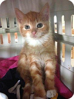 Domestic Shorthair Kitten for adoption in East Brunswick, New Jersey - Nala- OWNER KEEPING