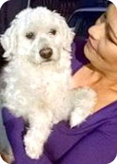 Maltese/Poodle (Miniature) Mix Dog for adoption in Boulder, Colorado - Marco-ADOPTION PENDING