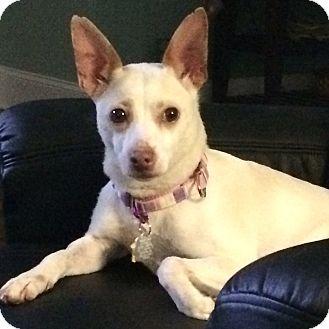 Chihuahua Mix Dog for adoption in Durham, North Carolina - Sugar