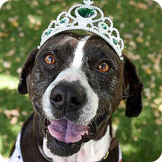 Hound (Unknown Type)/Retriever (Unknown Type) Mix Dog for adoption in San Antonio, Texas - Beverly
