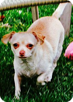 Chihuahua/Terrier (Unknown Type, Medium) Mix Dog for adoption in Columbia Heights, Minnesota - Khaki