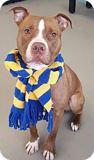 American Staffordshire Terrier Mix Dog for adoption in Liberty Center, Ohio - Yankee
