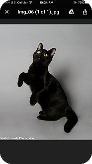 Domestic Shorthair Kitten for adoption in Atlantic, North Carolina - Dexter