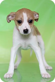 Chihuahua Mix Puppy for adoption in Waldorf, Maryland - Emily
