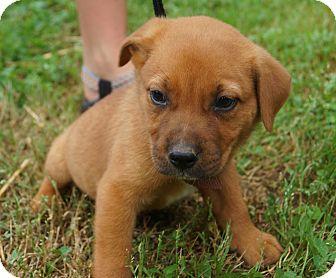 Boxer/German Shepherd Dog Mix Puppy for adoption in Newark, Delaware - Keaton