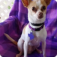 Adopt A Pet :: Indica - San Antonio, TX
