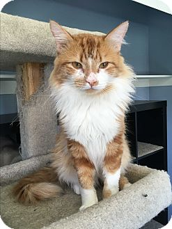 Domestic Mediumhair Cat for adoption in Winchester, California - Wally