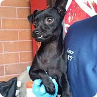 Adopt A Pet :: Panther - Huntington Beach, CA