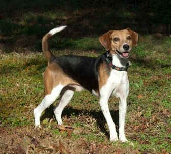 Beagle Mix Dog for adoption in Glen Allen, Virginia - Ace 2