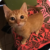 Adopt A Pet :: Purr Issac Newton - Loveland, CO