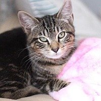 Adopt A Pet :: Purrfect Tommy - Raleigh, NC