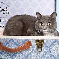 Adopt A Pet :: Blue Jaye - Pearland, TX