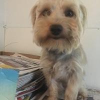 Adopt A Pet :: Schnorky ADBR in TX - Providence, RI