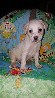 Labrador Retriever/Standard Poodle Mix Puppy for adoption in Albany, North Carolina - Dailey