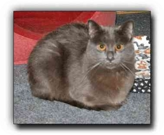 Russian Blue Cat for adoption in Howell, Michigan - Duffy