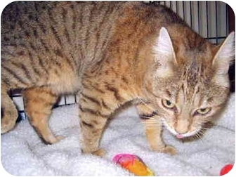 Abyssinian Cat for adoption in Grass Valley, California - Lucy